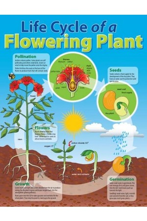Life Cycle Of A Flowering Plant Chart